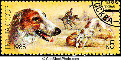 Russian Wolfhound Borzoi Fox Hunting Dog - USSR- CIRCA 1988:...