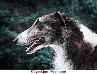 Russian wolfhound (borzoi)