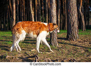 Russian Wolfhound Dog, Borzoi in the forest. One of the fastest hunting dogs in the world.