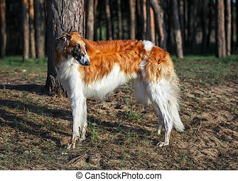 Russian Wolfhound Dog, Borzoi walk, Sighthound, Russkaya Psovaya Borzaya, Psovi. Killer of wolves. One of the fastest hunting dogs in the world. Springtime, Outdoors