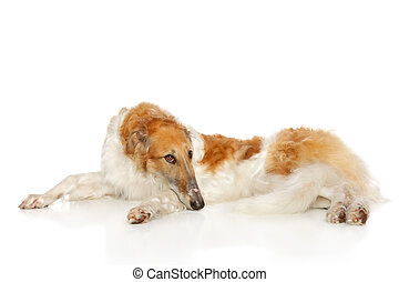 Russian wolfhound dog lying on white