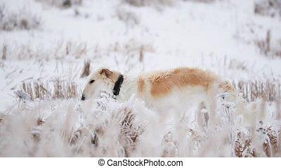 Russian Wolfhound Hunting Sighthound Russkaya Psovaya...