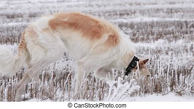 Russian Wolfhound Hunting Sighthound Russkaya Psovaya...