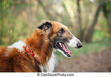 russisch wolfhound, dog, borzoi, sighthound, russkaya, psovaya, borzaya, psovi., moordenaar, van, wolves., een, van, de, het snelst, jagende honden, in, de, world., lente, outdoors., close-up, verticaal