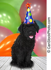 russische, terrier, schwarz, junger hund, hund, mit, a, geburtstagsfeierlichkeiten, sie