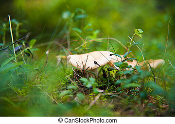 Russula mushroom in the coniferous forest
