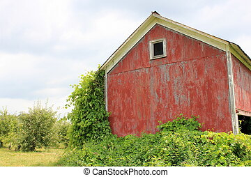 Rustic barn overgrown with ivy