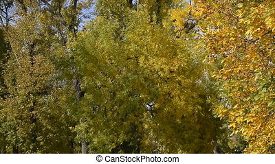 Rustling leaves of trees in a park in autumn. The movement of the wind in the leaves