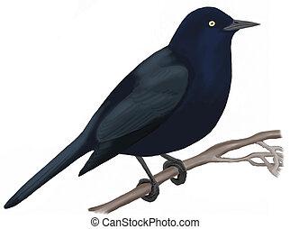 Rusty Blackbird - Euphagus carolinus - male