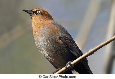 Rusty Blackbird (Euphagus carolinus) in winter plumage ...