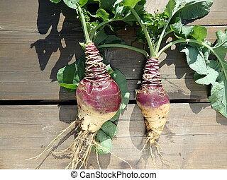 Rutabaga - crop harvest,(Brassica napobrassica),