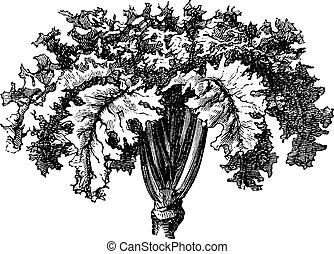 Rutabaga or Swedish Turnip or Yellow Turnip or Brassica...
