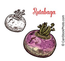 Rutabaga or turnip sketch vegetable - Rutabaga vegetable...