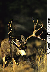 Ruting Mule Deer Buck - a big mule deer buck searching for...