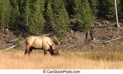 Rutting Bull Elk - a rutting bull elk in a meadow
