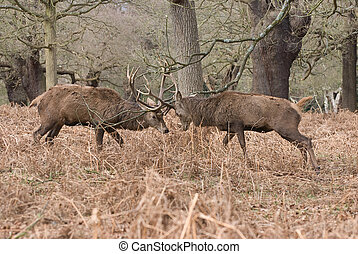 Rutting Deer - Two stags fighting by clashing antlers. Taken...