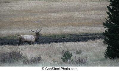 Rutting Elk - rutting behavior displayed by elk in the fall