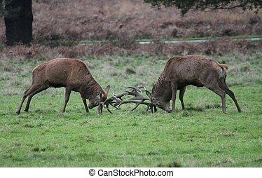 Rutting Stag red deer wild England- Cervus elaphus