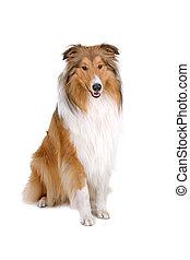 ruwe collie, scotish, herdershond