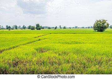 ryżowe pole, non-miejski, zielony, tajlandia