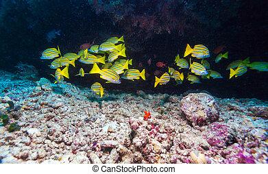 ryby, szkoła, malediwy, żółty