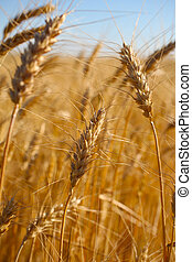 Rye before harvest close up photography. Warm summer light.