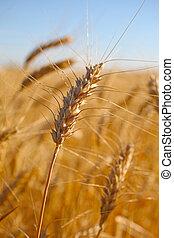 Rye before harvest macro photography. Selective focus.