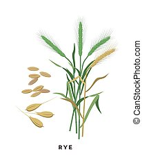 Rye cereal grass and grains - vector botanical illustration ...