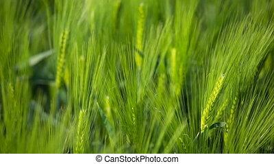 Rye Field In The Wind