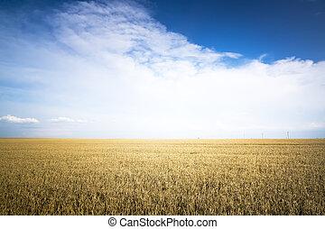 Rye field on a Sunny day.