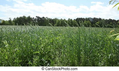 Rye Field - Rye (Secale cereale) is a grass grown...