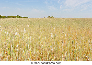 Rye (Secale cereale) is a grass grown extensively as a grain and as a forage crop. It is a member of the wheat tribe (Triticeae) and is closely related to barley and wheat.