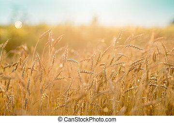 Rye field - closeup of cultivated rye field