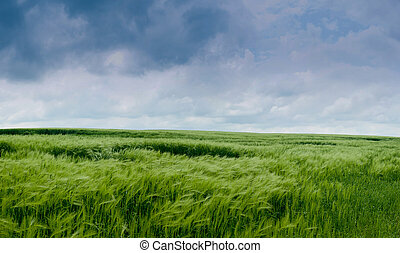 rye green field with in front of storm clouds