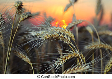 Rye - Wheat rye at sunset in the evening in the summer