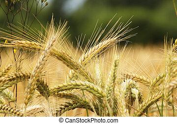 Rye - Golden ears of rye