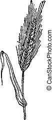 Rye, vintage engraving. - Rye, vintage engraved...