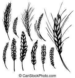 Rye, wheat - set of rye and wheat