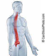 rygg, lateral, isolerat, anatomi, ställning, man, synhåll