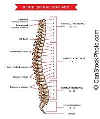rygg, vektor, skiss, knotor, ryggrad, anatomi