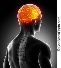 rygrad, hjerne, glødende
