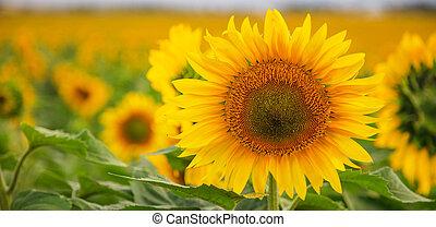 rykke sammen, solsikke, blooming