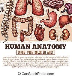 rys, afisz, anatomia, wektor, ludzki, organy