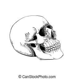 rys, czaszka, odizolowany, ręka, tło., czarnoskóry, pociągnięty, biały