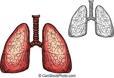 rys, organy, odizolowany, anatomia, płuco, ludzki