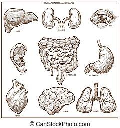 rys, wektor, organy, wewnętrzny, ludzki