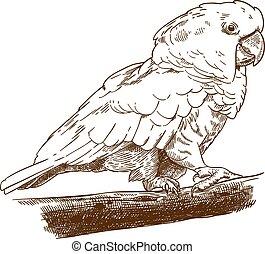 rysunek, biała kakadu, rytownictwo, ilustracja