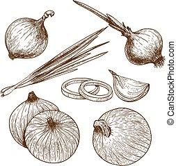 rytina, ilustrace, cibule