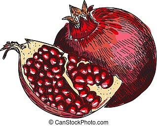 rytownictwo, żywienie, rys, organiczny, illustration., owoc, rocznik wina, granat, odizolowany, jadło., zdrowy, wektor, retro, tło, berry., pociągnięty, wytrawcie, ręka, wyryty, biały