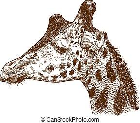 rytownictwo, głowa, żyrafa, rysunek, ilustracja